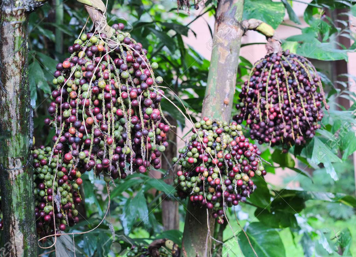 Mature-fruits-of-Jaggery-palm