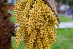 Flowers-of-Jaggery-palm