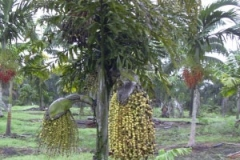 Jaggery-palm-plant