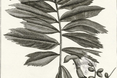 Plant-Illustration-of-Jaggery-palm