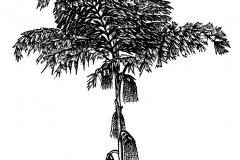 Sketch-of-Jaggery-palm