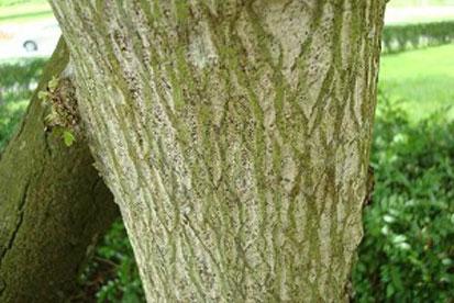 Bark-of-Jamaica-cherry-tree