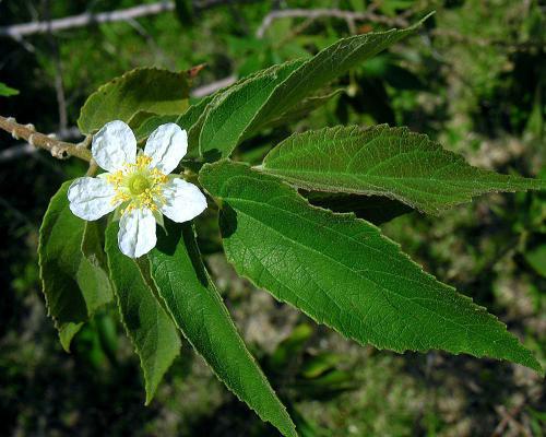 Flower-of-Jamaica-cherry