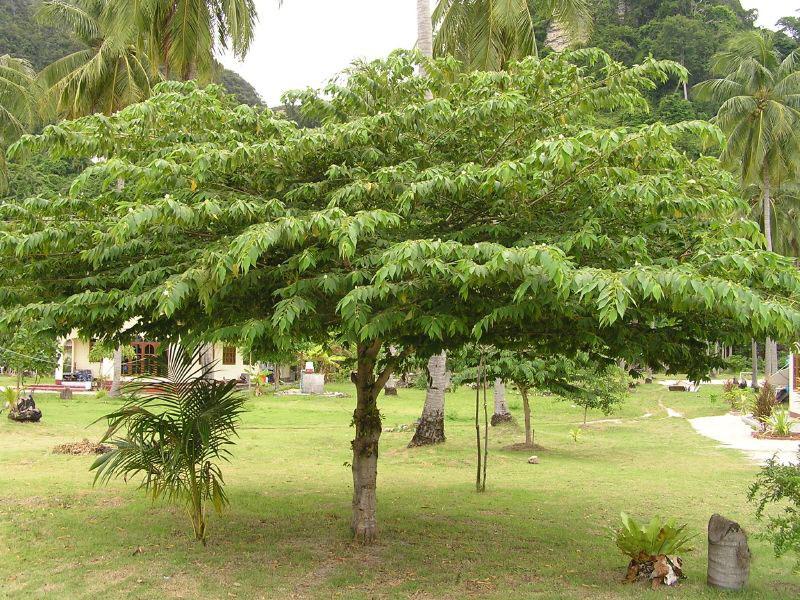 Jamaica-cherry-plant