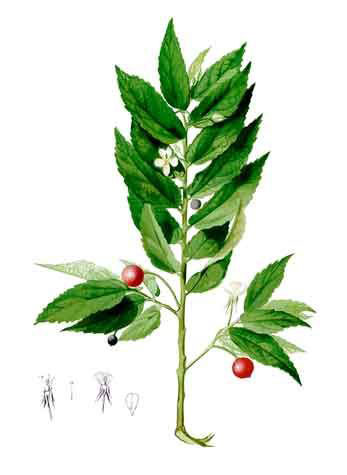 Plant-Illustration-of-Jamaica-cherry
