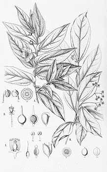 Sketch-of-Jamaica-cherry