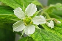 Closer-view-of-flower--of-Jamaica-cherry