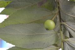 Unripe-fruit-of-Jamaica-cherry
