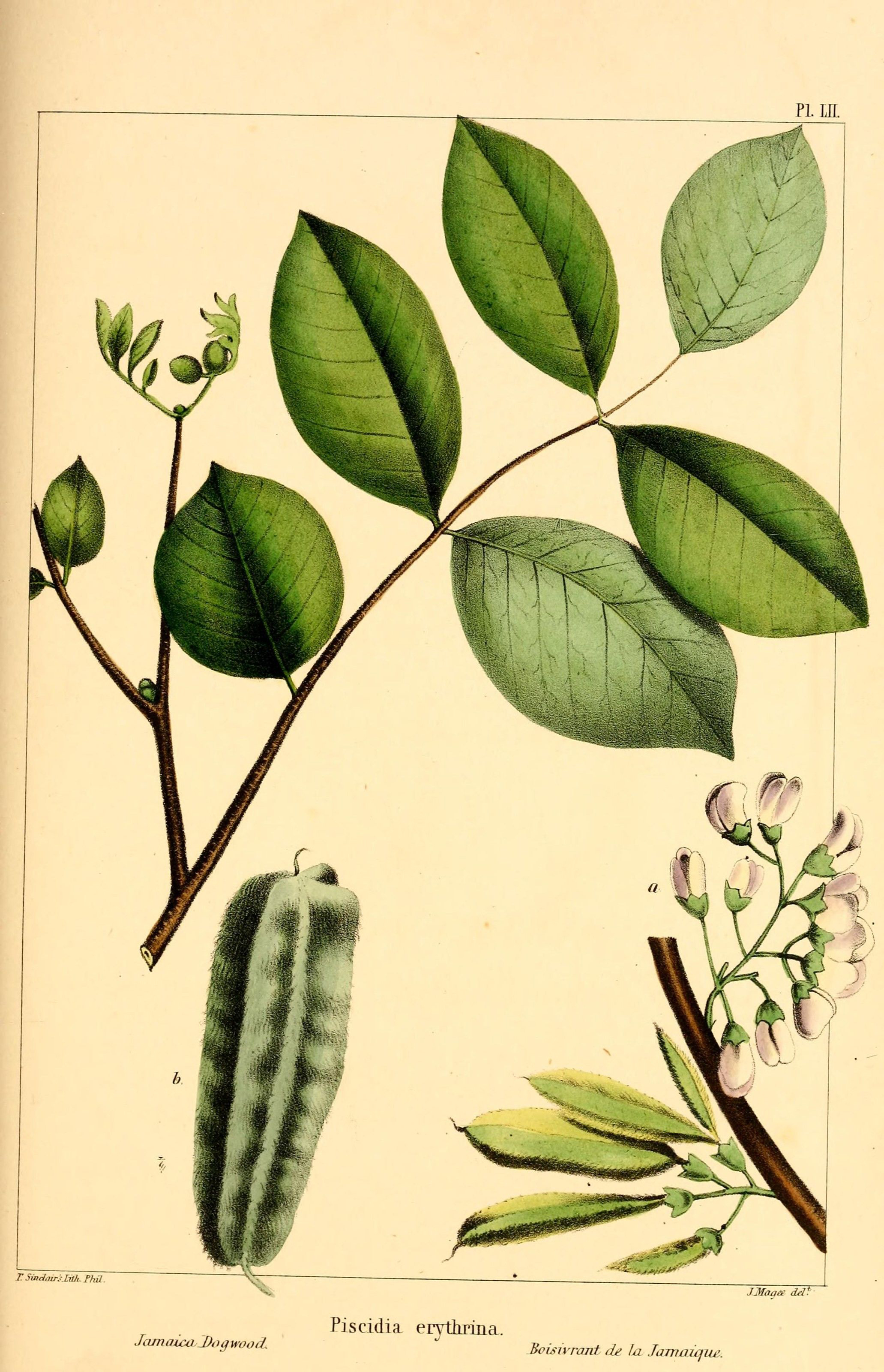 Illustration-of-Jamaican-Dogwood