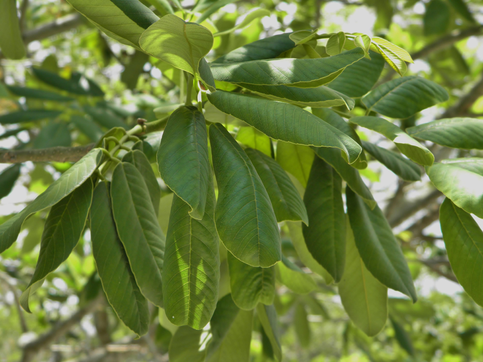 Jamaican-Dogwood-leaves