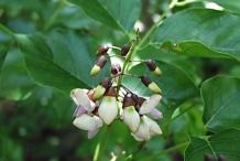 Flower-bud-of-Jamaican-Dogwood