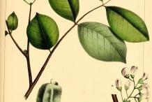 Illustration-of-Jamaican-Dogwood