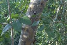Jamaican-Dogwood-bark