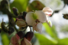Jamaican-Dogwood-flower
