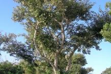 Jamaican-Dogwood-tree