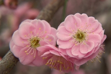 Closer-view-of-flower-of-Japanese-apricot