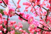 Flowers-of-Japanese-apricot