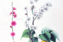 Plant-Illustration-of-Japanese-apricot