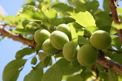Immature-Japanese-apricot-fruits