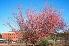 Japanese-apricot-plant