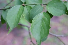 Leaves-of-Japanese-apricot-plant