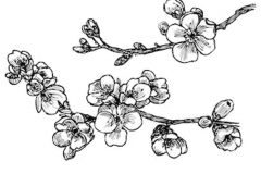 Sketch-of-Japanese-apricot