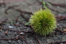 Japanese-chestnut-bur