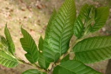 Japanese-chestnut-leaves
