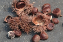 Japanese-chestnut