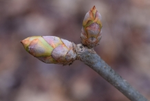 Japanese-chestnut-flower-bud