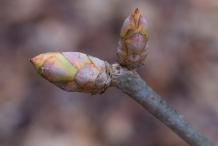 Japanese-chestnut-flower-bud