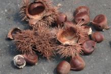 Japanese-chestnut