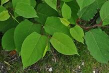 Leaves-of-Japanese-Knotweed