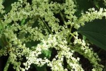 Flower-of-Japanese-Knotweed