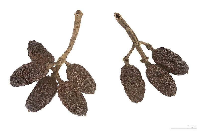Dried-fruits-of-Japanese-Laurel