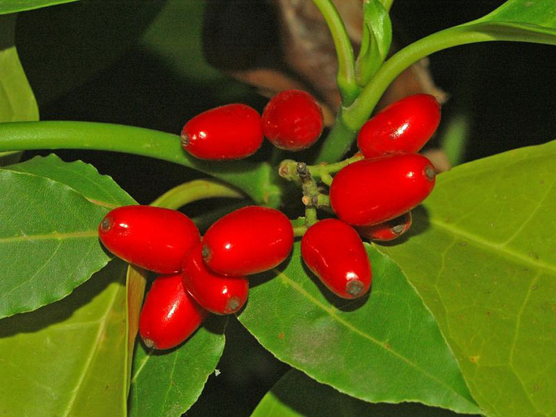 Fruits-of-Japanese-Laurel