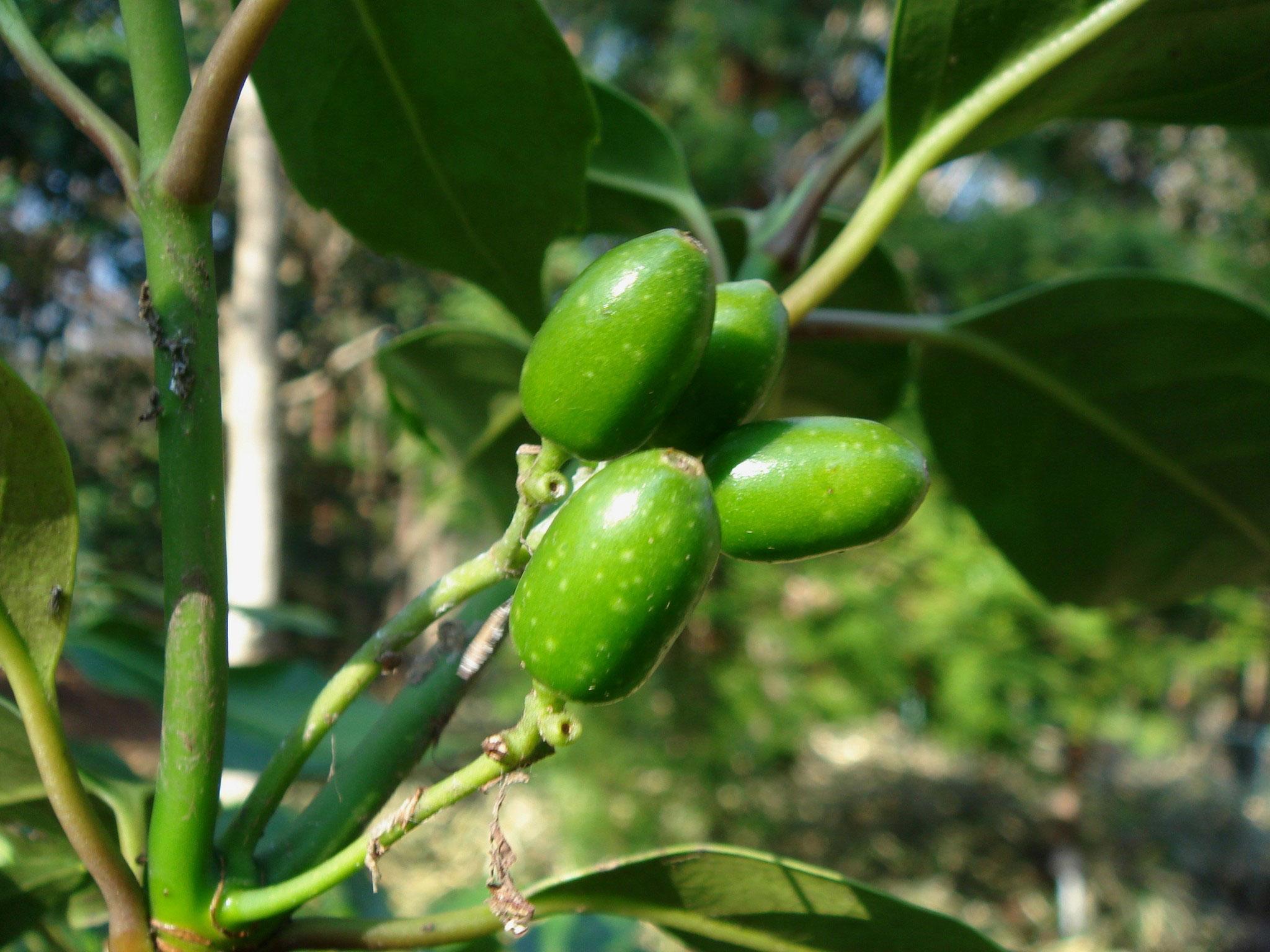 Immature-fruits-of-Japanese-Laurel