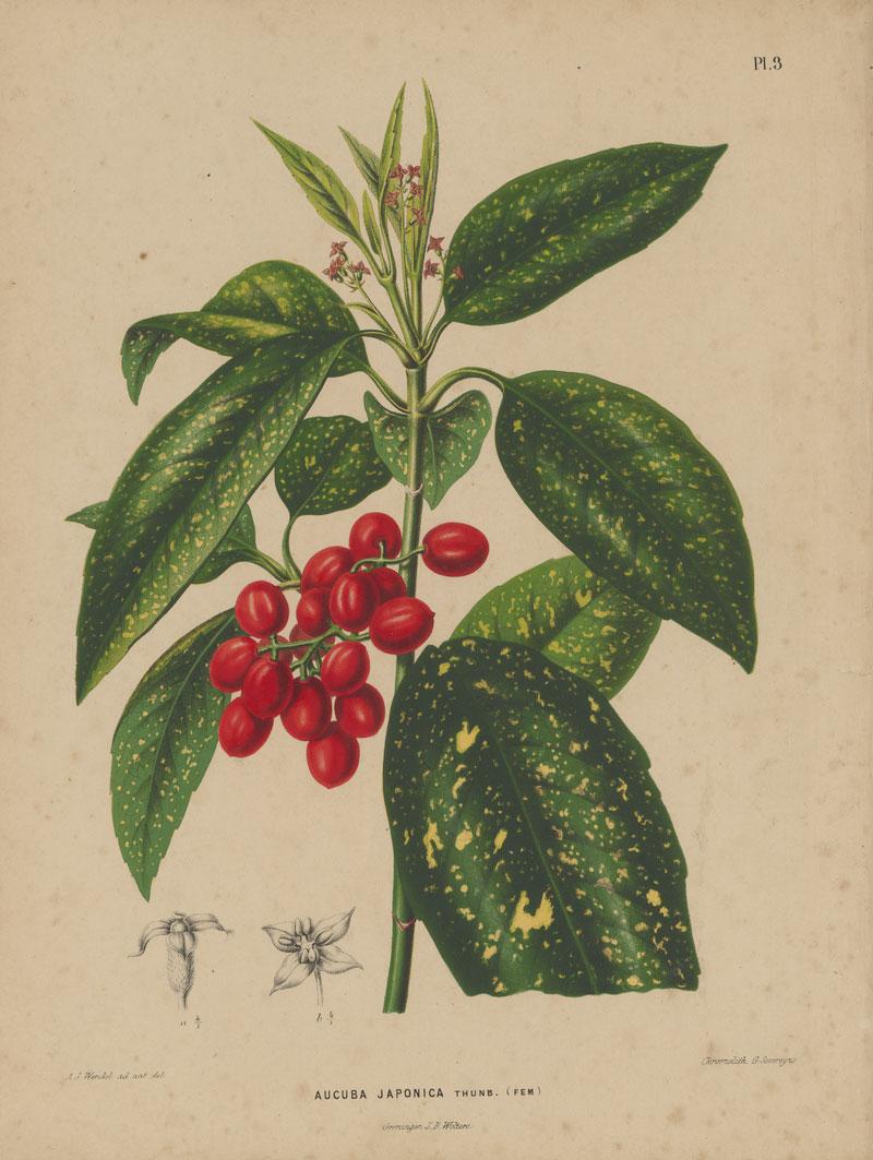 Plant-illustration-of-Japanese-Laurel