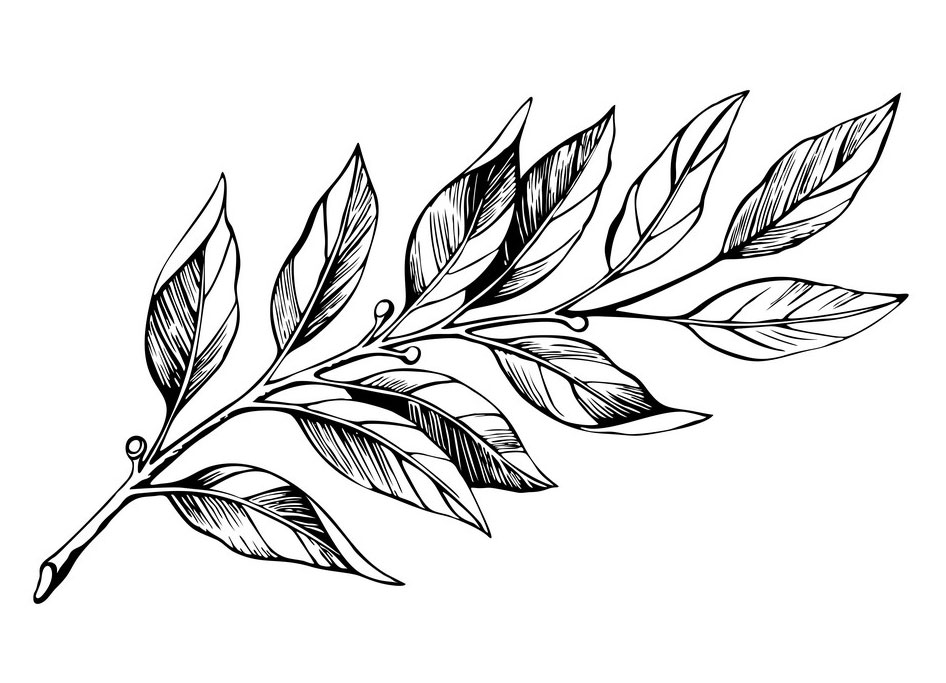 Sketch-of-Japanese-Laurel