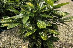 Japanese-Laurel-Plant