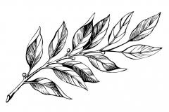 Sketch-of-Japanese-Laurel
