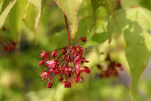 Flowers-of-Japanese-Maple-plant