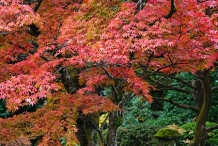 Japanese-Maple-growing-Wild