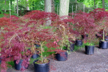 Small-Japanese-Maple-plant