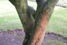 Trunk-of-Japanese-Maple-plant
