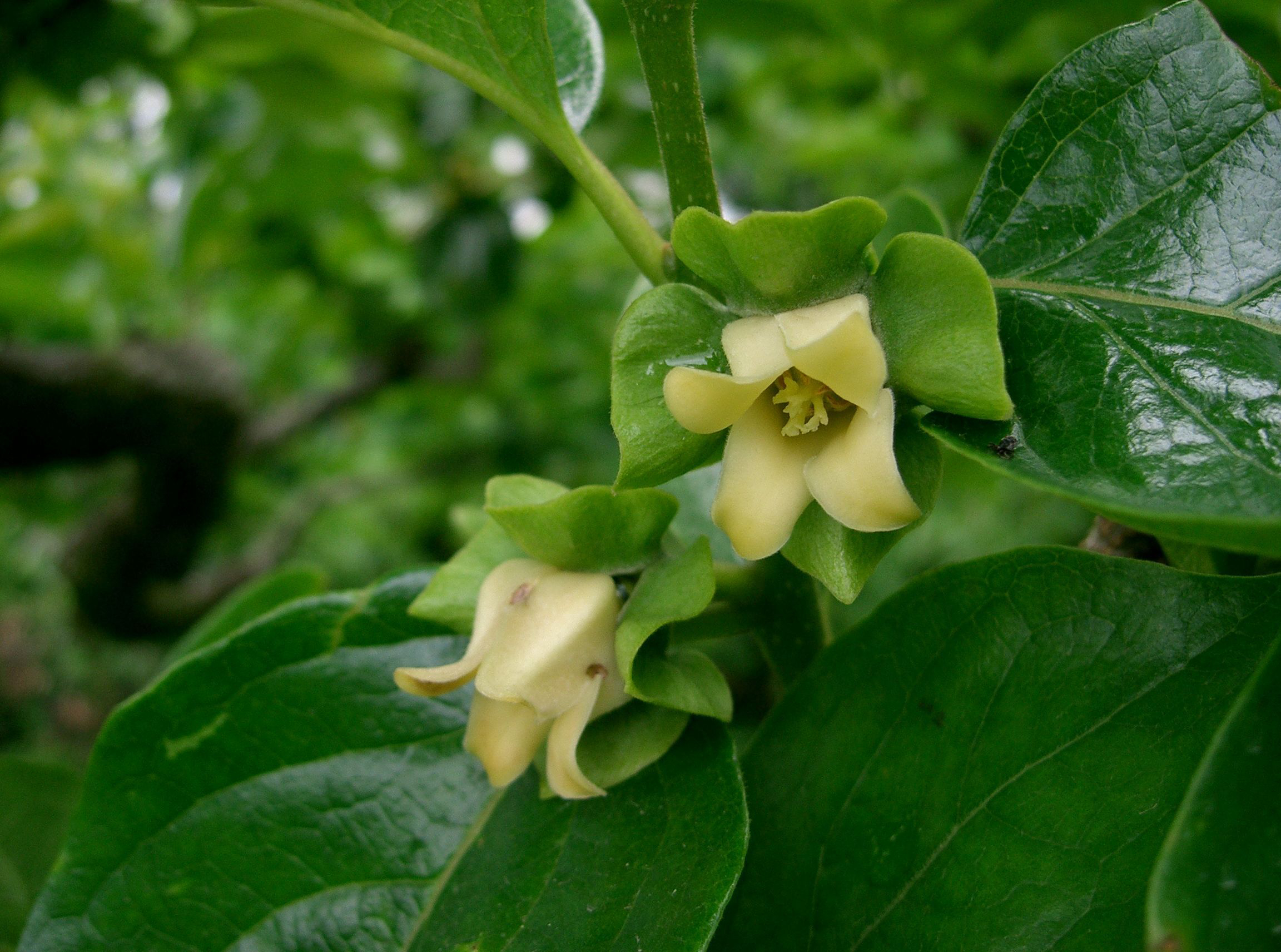 Close-view-of-Japanese-Persimmon-flower