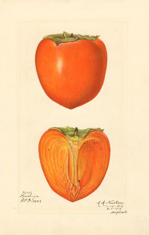 Japanese-Persimmon-illustration
