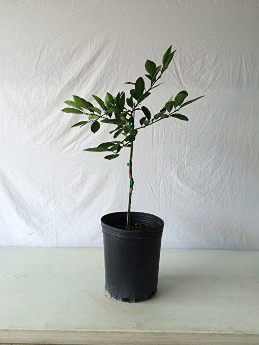 Japanese-Persimmon-plant
