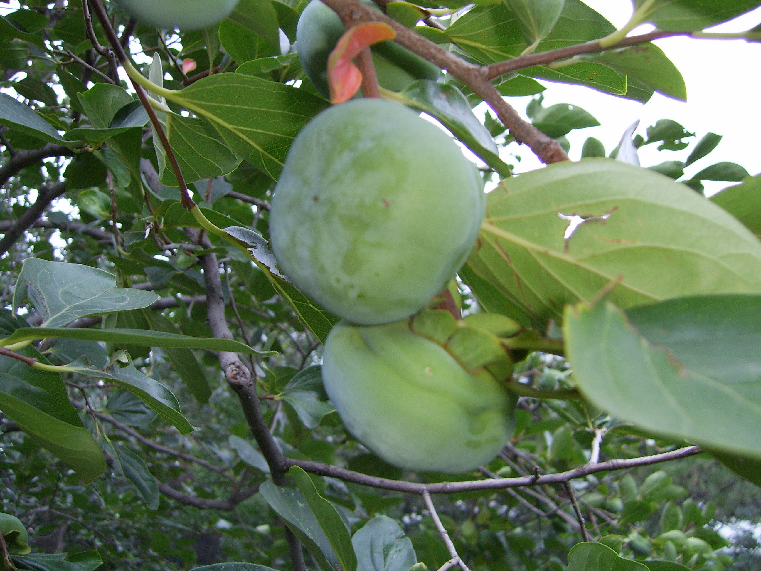Unripe-Japanese-Persimmon-fruit