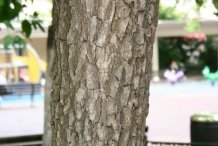 Japanese-Persimmon-bark